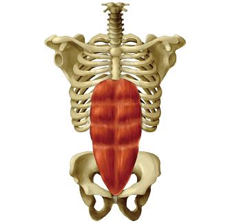 腹直筋の人体模型図